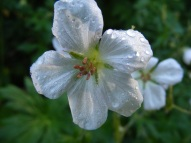 A wild geranium with the morning's dew