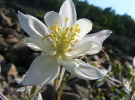 My fascination with the columbine, Aquilegia spp., is an affliction I share with many
