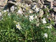 Here, growing in profusion as it does throughout the mountains, the state flower of Colorado
