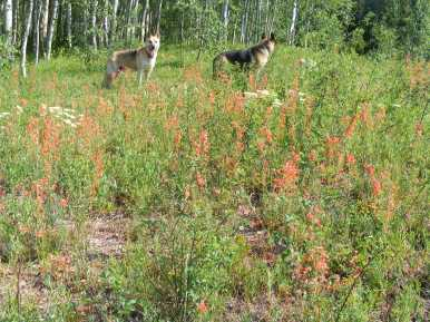 Draco and Leah pause with barely contained boredom as I inspect the scarlet gilia on Ohio Creek