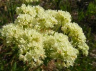 If this is biscuitroot, or something similar, then it is part of Apiaceae