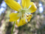 A Glacier Lily on Ohio Creek, under a dark conifer forest