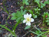 In a marshy area of the conifer forest along Ohio Creek, what might be a Globeflower