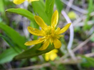 The small Ranunculaceae, near the head of Splain's Gulch at the pond