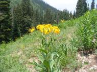 A sunflower just above Ohio Pass