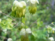 Meadow Rue, part of the Buttercup Family, on Ohio Pass