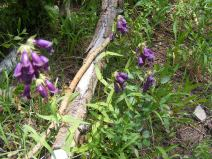 Maybe Whipple's Penstemon, on the old wagon road