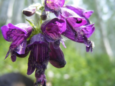 Perhaps Penstemon whippleanus, on the old wagon road