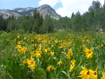 Maybe Mule's Ears sunflower, in a gorgeous meadow