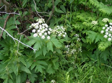 Perhaps cow parsnip, near the Swampy Pass Trail No. 439