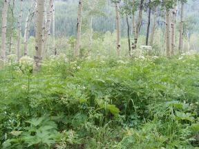 The understory of the aspen forest below the Anthracite Range, difficult to bushwhack through; fortunately, I was walking along the Swampy Pass Trail No. 439