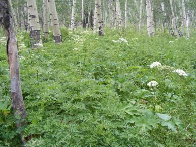 The understory of the aspen forest south of Ohio Peak
