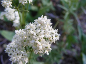 "Closeup of ""mystery"" flower on Agate Creek - perhaps this is Northern Bedstraw in the Madder Family"