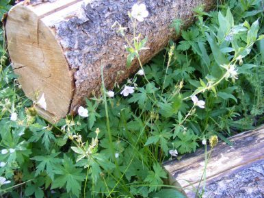 Geraniums growing around a log cut to facilitate passage of the Agate Creek Trail No. 484