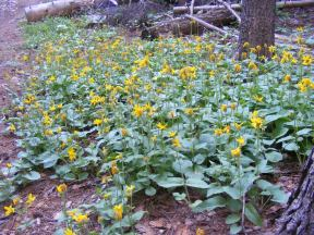 Sunflowers on the forest floor adjacent to Agate Creek