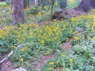 A sea of forest-loving sunflowers along Agate Creek
