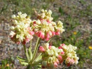 Eriogonum spp. in Polygonaceae, on the Agate Creek Trail No. 484