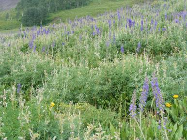 Wildflowers on the east side of Crested Butte, on the Gunnison National Forest