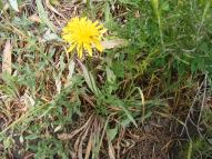 Possibly a native dandelion, on the East River Trail No. 634