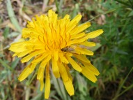 Closeup of a dandelion (or something closely related) in Asteraceae, on the East River Trail No. 634