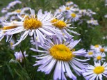 Closeup of the often overlooked daisies