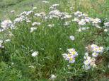 A bloom of daisies, asters or fleabane, depending on the exact species; regardless, in Asteraceae