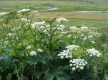 Looks like Cow Parsnip in the Parsley Family