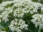 Closeup of the Cow Parsnip