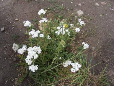 Yarrow, a small white sunflower in the Aster Family