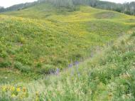Rolling hills on the eastern flank of Crested Butte are home to numerous species of wildflowers but the sunflowers ultimately lend the tint