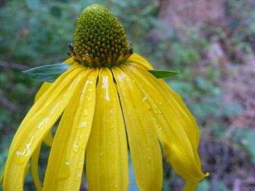 Dew on a sunflower, on Coal Creek