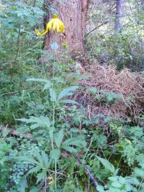 This sunflower in the Coal Creek drainage must be about five or six feet tall
