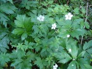 Geranium amidst thick foliage on Coal Creek