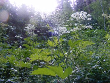 Cow Parsnip in the early morning Sun