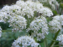 Closeup of Cow Parsnip, a member of the Parsley Family, on Coal Creek