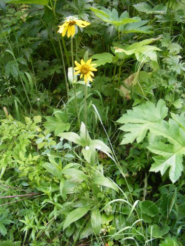 The second yellow sunflower on Coal Creek