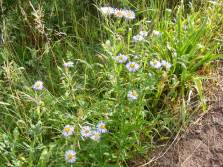 Fleabane, Daisy or Aster: I don't know, but they are all closely related. On Coal Creek in the West Elk Wilderness