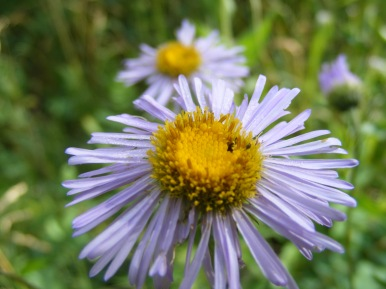 Closeup of a mauve daisy, on Coal Creek