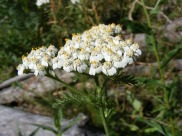 Yarrow in the Aster Family, on Kaufman Ridge