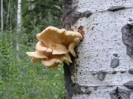 Fungus on an Aspen, on Peter Creek