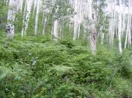 Thick forest of aspen with an understory of ferns, near the headwaters of Peter Creek