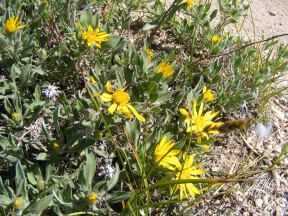 Some small something that belongs in Asteraceae, here growing north of Mount Peck