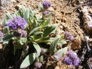 This looks like something in the Borage Family if not a Phacelia, on the headwaters of Park Creek south of Monarch Pass
