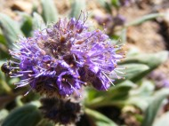 Perhaps a Phacelia spp. in Boraginaceae on the headwaters of Park Creek south of Monarch Pass