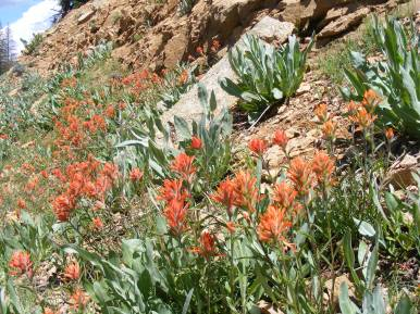 A patch of paintbrush on the headwaters of Park Creek south of Monarch Pass