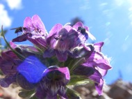 Pollinators busy on a penstemon