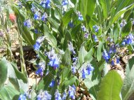 Bluebells in the Borage Family, on the headwaters of Park Creek south of Monarch Pass