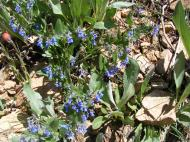 Bluebells in reddish soil