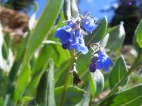 Mertensia spp. in Boraginaceae, on the headwaters of Park Creek south of Monarch Pass