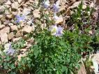 Colorado's state flower, the columbine